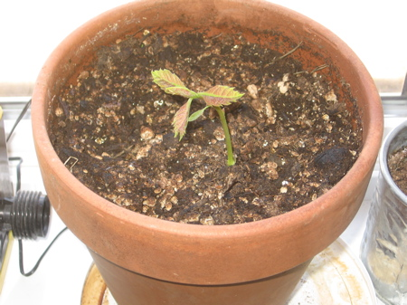 One week old oak tree seedling
