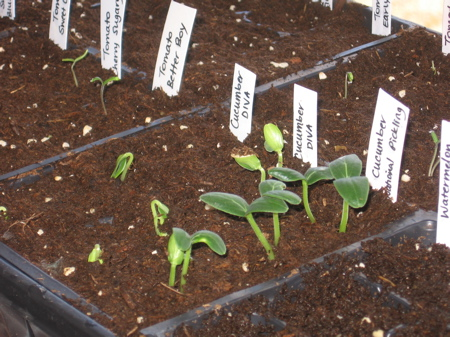 5 day old cucumber and tomato seedlings