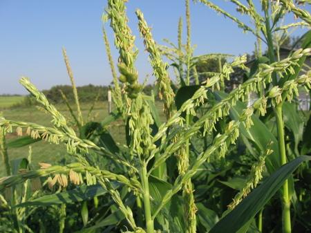 Cornless Corn