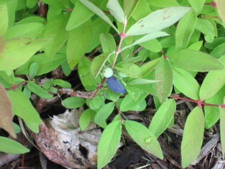 Haskap berries on June 21