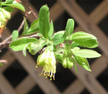Haskap Blossom