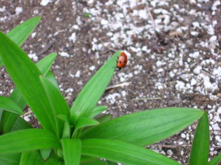 A ladybug on a tiger lily