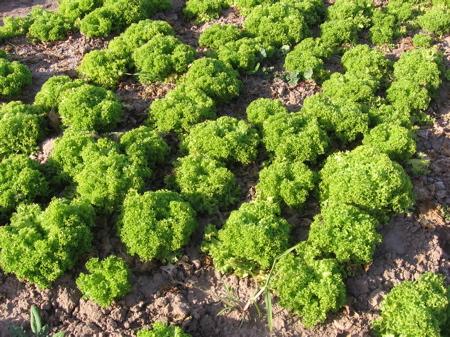 Lettuce Field in Arizona