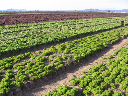 Lettuce Fields in Arizona