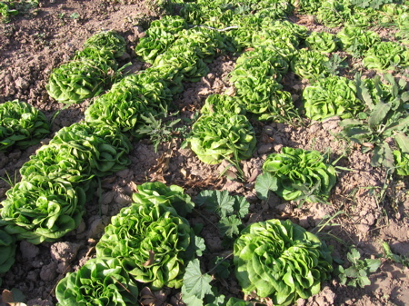 Lettuce Crop in Arizona