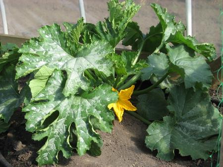 Mom's Greenhouse (zucchini)