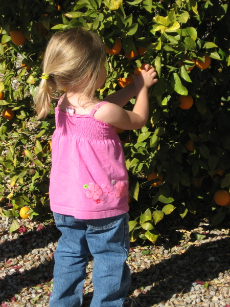 My daughter picking oranges from Great Grandpa's orange tree