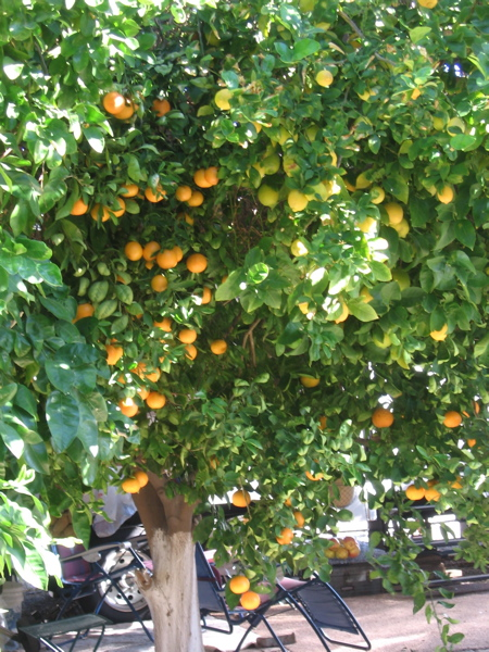 Grandpa's Orange Tree