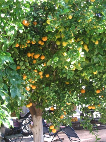 Grandpa's Orange Tree
