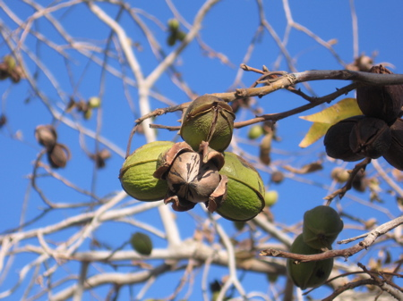 100 year old pecan tree