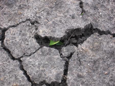 Squash peeking through the dirt