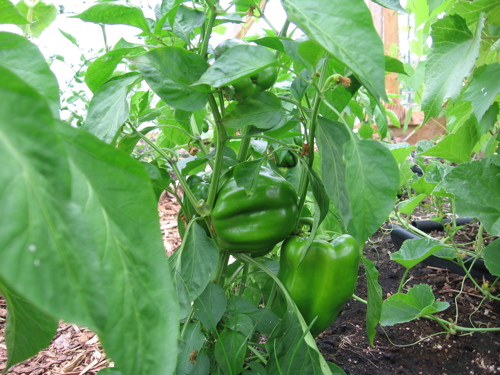 Early Prolific Sweet Bell Peppers