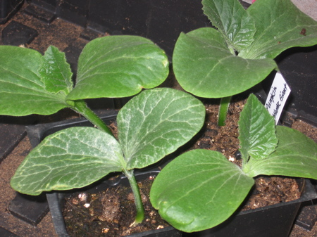 Pumpkin Seedlings 2 weeks