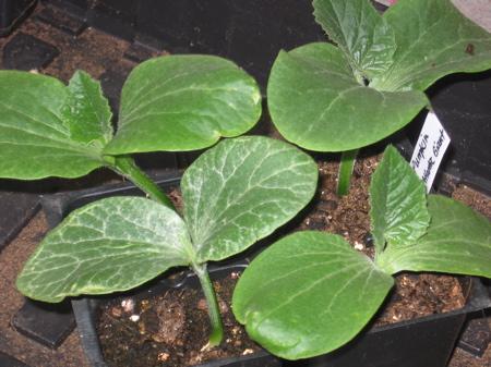 Pumpkin Seedlings 2 weeks