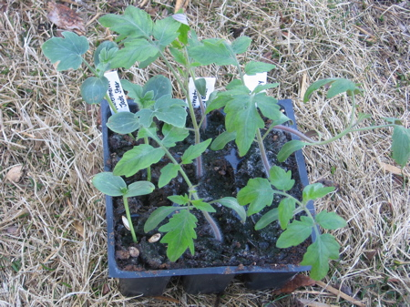 Tomato & Watermelon Seedlings ready to transplant