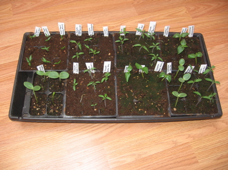 15 day old cucumber and tomato seedlings