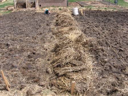 Planting potatoes in straw