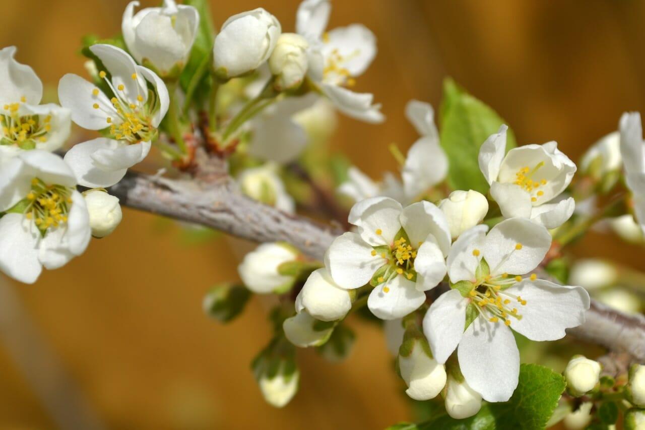 My Fruit Trees Are Budding | Alberta Home Gardening