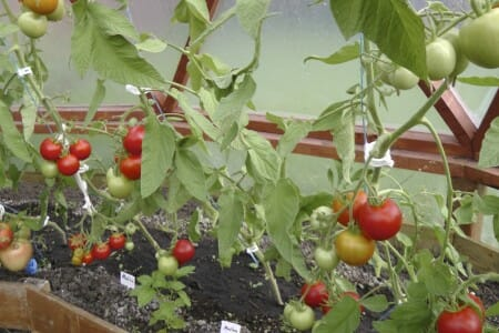 Tomatoes in a Geodome Greenhouse