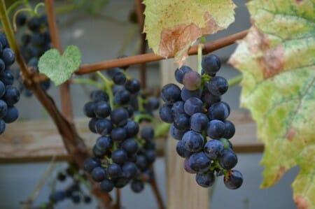 Valient Grapes